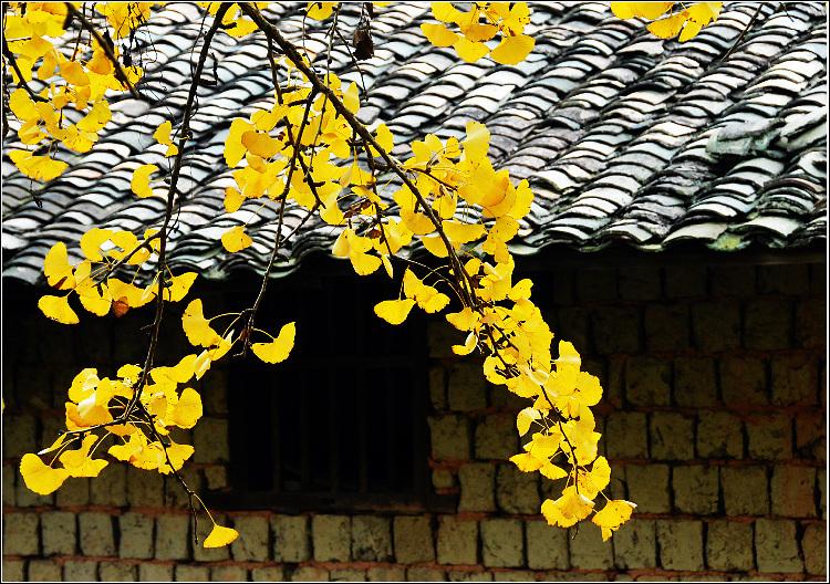 据了解,银杏树每年11月中旬开始成熟,成熟后叶子变