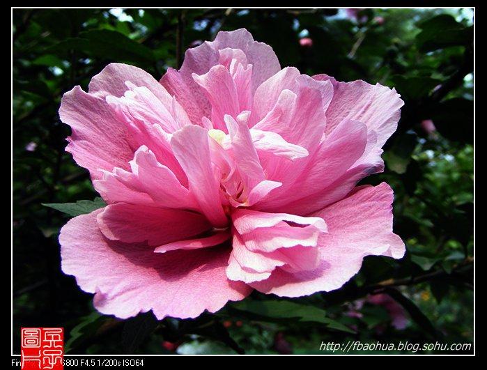 韩国国花:木槿花(组图)