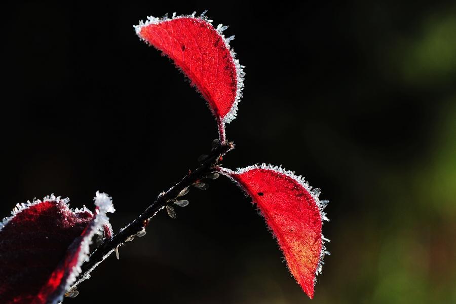 冰霜红叶壁纸高清
