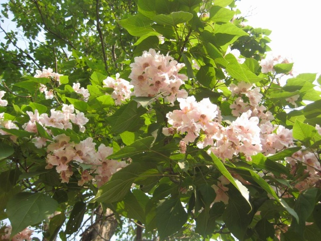 春寒刚过,泡桐树会开