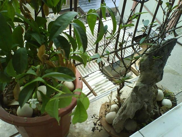 阳台上的葡萄树和院子里的竹子