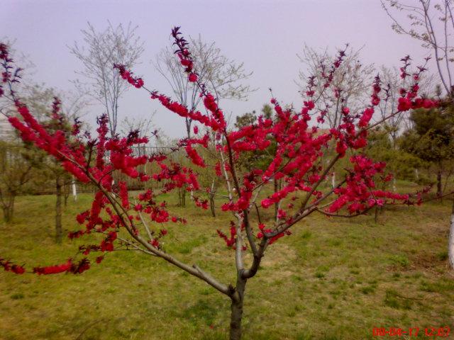 公司外面红色的樱花树