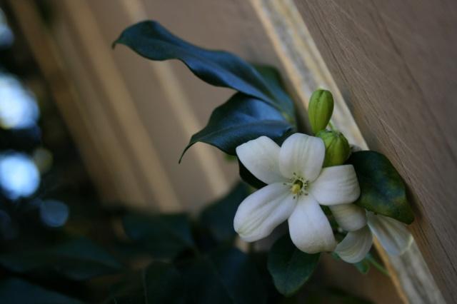 茉莉花花瓣飘落素材