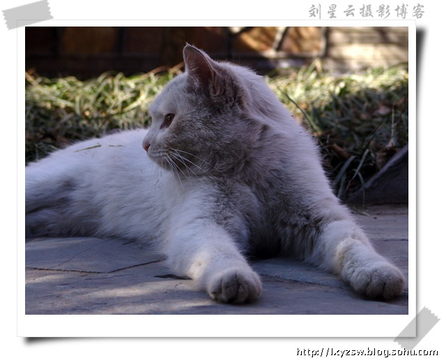 悠闲自在的小白猫(可爱的动物141)