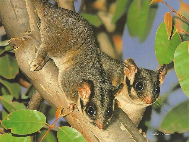 都是澳大利亚的特色动物