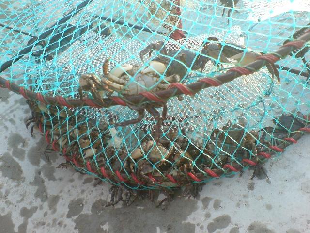 打捞上来的小螃蟹,好可爱!