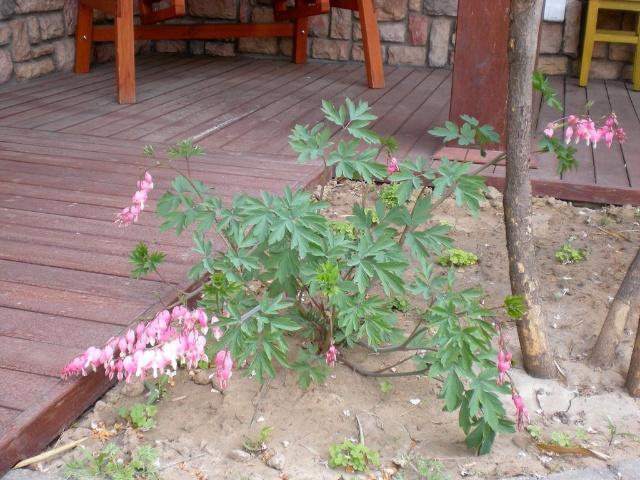 【北方宿根花卉】红花醡浆草在北京庭院的越冬情况