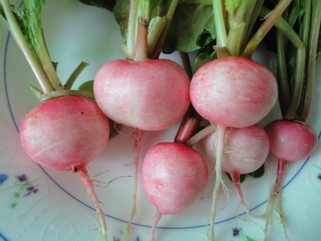 花心萝卜,种子n分